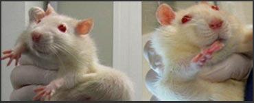 gmo-corn-rats-370x150